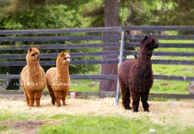 alpaca3.jpg